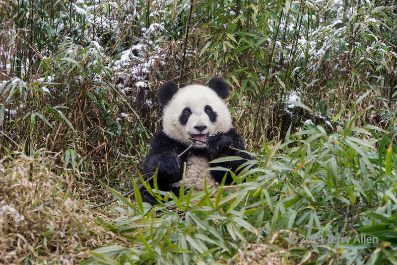 Panda in the snow holding bamboo stalks in each paw, Bifeng Xia, Sichuan, China