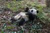 Giant panda lying around eating bamboo, Bifeng Xia, Sichuan, China