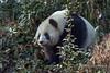 Large Giant panda walking through the bush, Bifeng Xia, Sichuan, China