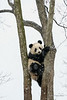 Young panda up a tree in the snow, Bifeng Xia Gorge, Sichuan, China