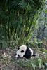 Panda headed for a stalk of bamboo, Bifeng Xia, Sichuan, China