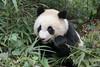 Close-up of a panda eating a bamboo stalk, Bifeng Xia, Sichuan, China