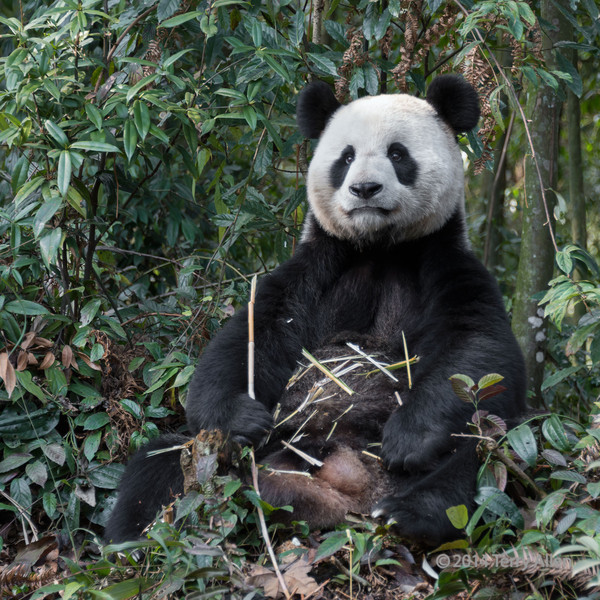 Messy eater<br /> <br /> Adult Giant panda eating bamboo stalks and dropping them on its stomach, Bifeng Xia, China