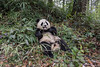 Perfect life<br /> <br /> Young panda's living out it dream of a perfect life, Bifeng Xia, China