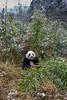 Young panda in its natural enviroment - a bamboo patch, Bifeng Xia Gorge, Sichuan, China