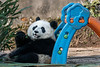 """Too cute baby panda <br /> <br /> The Bifeng Xia Reserve has a kindergarden for very young pandas and I saw this little guy leaning against a child's toy in the kindergarten. Not to be too anthropomorphic but the panda appears to be smiling and waving at the camera.<br /> <br /> Other shots of baby pandas in the kindergarden, plus a couple of shots of older animals outside the compound, can be seen here: <a href=""""http://goo.gl/GzVQI0"""">http://goo.gl/GzVQI0</a><br /> <br /> 17/05/14  <a href=""""http://www.allenfotowild.com"""">http://www.allenfotowild.com</a>"""
