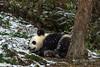 Young panda sleeping in the snow, Bifeng Xia Gorge, Sichuan, China