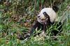 Panda enjoying a bamboo shoot, Bifeng Xia Gorge, Sichuan, China