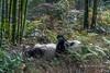 Giant panda lying on its back eating bamboo, Bifeng Xia, Sichuan, China