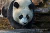 Baby panda by a wet rock, Bifeng Xia, Sichuan, China