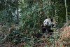 Adult panda sitting in the bush eating a bamboo shoot, Bifeng Xia, Sichuan, China