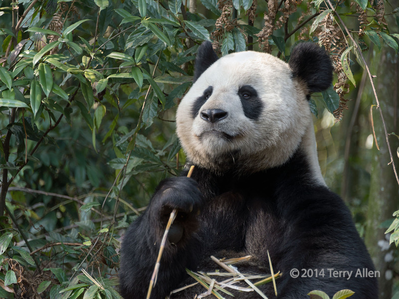 An appetite for bamboo