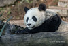 Pensive panda, Bifeng Xia, Sichuan, China