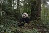 Young panda with a bamboo 'toothpick', Bifeng Xia, Sichuan, China