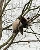 Young panda sleeping wedged in a tree, Bifeng Xia, Sichuan, China