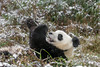 Young panda eating a bamboo stalk in the snow, Bifeng Xia Gorge, Sichuan, China