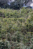 Bamboo grove and mountains, vertical, Bifeng Xia, Sichuan, China