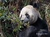 Giant panda with an armload of young bamboo stalks, Bifeng Xia, Sichuan, China