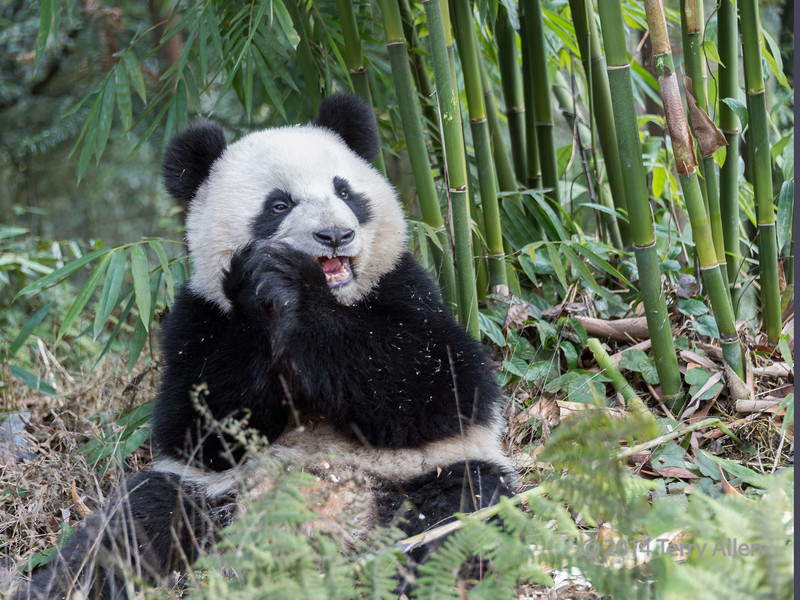 Panda chewing on a bamboo shoot, Bifeng Xia, Sichuan, China<br /> <br /> Taken outside the compound by a bamboo grove