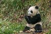Young panda eating a bamboo shoot, Bifeng Xia Gorge, Sichuan, China
