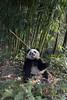 Panda holding a stalk of bamboo, Bifeng Xia, Sichuan, China