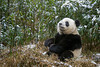 """Panda in a bamboo patch during a rare snow storm, Bifeng Xia Gorge, Ya'an, China<br /> <br /> I hope your'e not getting tired of panda pictures - as I said in another post, they have a limited repertoire; eat, lie around, sleep,  look cute, repeat, repeat again, etc.  More panda photos can be seen here: <a href=""""http://goo.gl/0he5Ms"""">http://goo.gl/0he5Ms</a><br /> <br /> 12/06/14  <a href=""""http://www.allenfotowild.com"""">http://www.allenfotowild.com</a>"""