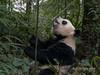 Panda checking out a stalk of bamboo, Bifeng Xia, Sichuan, China