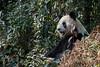 Adult Giant panda sitting in the bush, Bifeng Xia, Sichuan, China