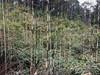 Stand of bamboo, Bifeng Xia, China