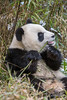 Close-up of a young panda eating a tasty bamboo stalk, Bifeng Xia Gorge, Sichuan, China
