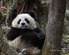 Young panda trying to find a comfortable spot for a nap, Bifeng Xia, Sichuan, China