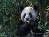 """Two fisted eater<br /> <br /> Adult panda in a patch of sun eating a bamboo shoot, Bifeng Xia, China<br /> <br /> More new panda photos can be seen here: <a href=""""http://goo.gl/T9n1BP"""">http://goo.gl/T9n1BP</a><br /> <br /> 26/06/14  <a href=""""http://www.allenfotowild.com"""">http://www.allenfotowild.com</a>"""