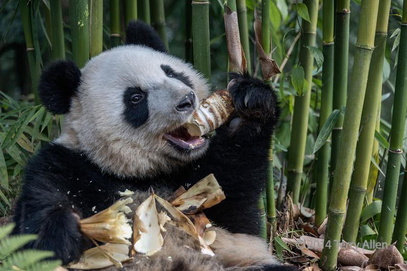 Giant panda making a mess eating a bamboo shoot, Bifeng Xia, Sichuan, China