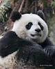 Panda close-up, Bifeng Xia, Sichuan, China
