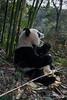 Panda with open mouth, Bifeng Xia, Sichuan, China