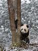 Young panda grabbing tree trunk in the snow, Bifeng Xia, Sichuan, China