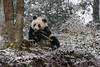 Young panda eating a bamboo stalk in a snow storm, Bifeng Xia, Sichuan, China