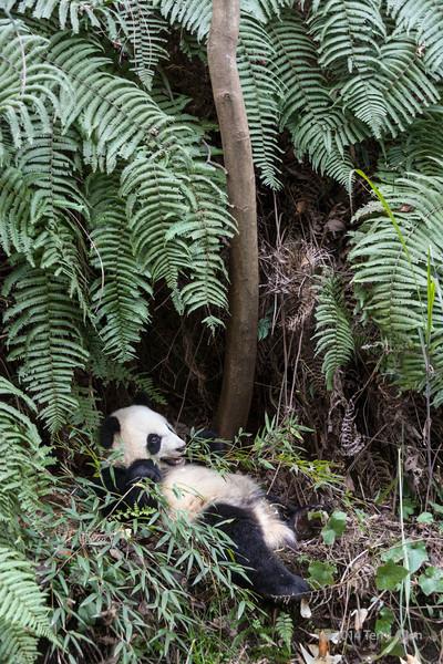 Young panda eating bamboo by ferns, Bifeng Xia, Sichuan, China