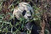 """Giant panda close-up with bamboo leaves, Bifeng Xia, Sichuan, China<br /> <br /> Other photos of pandas can be seen here: <a href=""""http://goo.gl/BV3b1d"""">http://goo.gl/BV3b1d</a><br /> <br /> 20/06/14   <a href=""""http://www.allenfotowild.com"""">http://www.allenfotowild.com</a>"""