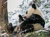 Young panda licking its paw in the snow, Bifeng Xia Gorge, Sichuan, China
