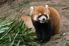 Red panda munching bamboo leaves, Panda Research Base, Chengdu, China