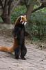 Red panda standing up to take a look, Panda Research Base, Chengdu, China