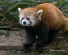 """Red panda portrait, Panda Research Base, Chengdu, China<br /> <br /> A few more photos of these cute red pandas can be seen here: <a href=""""http://goo.gl/T15F6a"""">http://goo.gl/T15F6a</a><br /> <br /> 24/05/14  <a href=""""http://www.allenfotowild.com"""">http://www.allenfotowild.com</a>"""