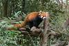 Red panda on its house, Panda Research Base, Chengdu, China