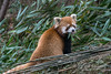 """Red panda  (aka lesser panda or red cat-bear) sitting in a pile of bamboo, Panda Research Base, Chengdu, China<br /> <br /> The remaining red panda shots can be seen here: <a href=""""http://goo.gl/BSZ3mC"""">http://goo.gl/BSZ3mC</a><br /> <br /> 5/06/14  <a href=""""http://www.allenfotowild.com"""">http://www.allenfotowild.com</a>"""
