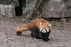 Red panda in a compound at the  Panda Research Base, Chengdu, China