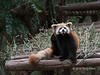 Curious red panda, Panda Research Base, Chengdu, China