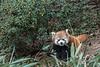 Red panda holding a stalk of bamboo, Panda Research Base, Chengdu, China