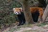 Red panda by a tree, Panda Research Base, Chengdu, China