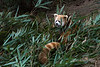 Red panda in bamboo